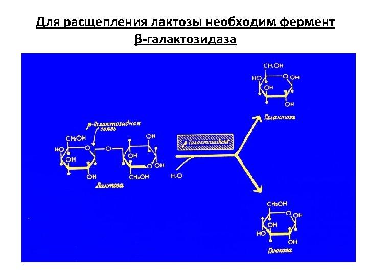 Для расщепления лактозы необходим фермент β-галактозидаза