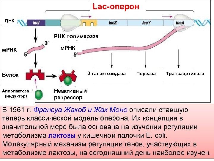 Lac-оперон ДНК РНК-полимераза м. РНК β-галактозидаза Белок Аллолактоза (индуктор) Переаза Трансацетилаза Неактивный репрессор В