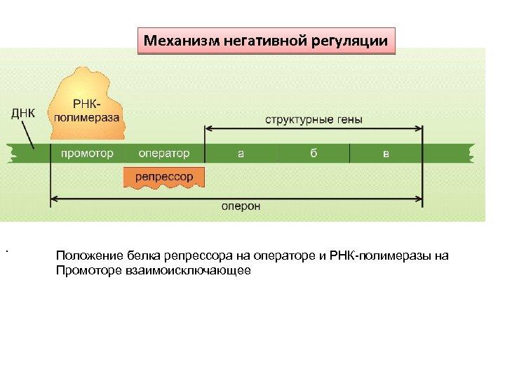 Механизм негативной регуляции . Положение белка репрессора на операторе и РНК-полимеразы на Промоторе взаимоисключающее