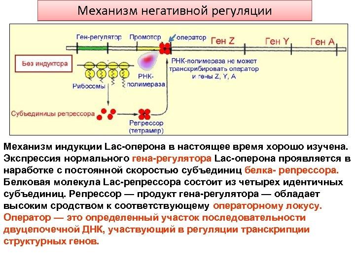 Механизм негативной регуляции Механизм индукции Lac-оперона в настоящее время хорошо изучена. Экспрессия нормального гена-регулятора