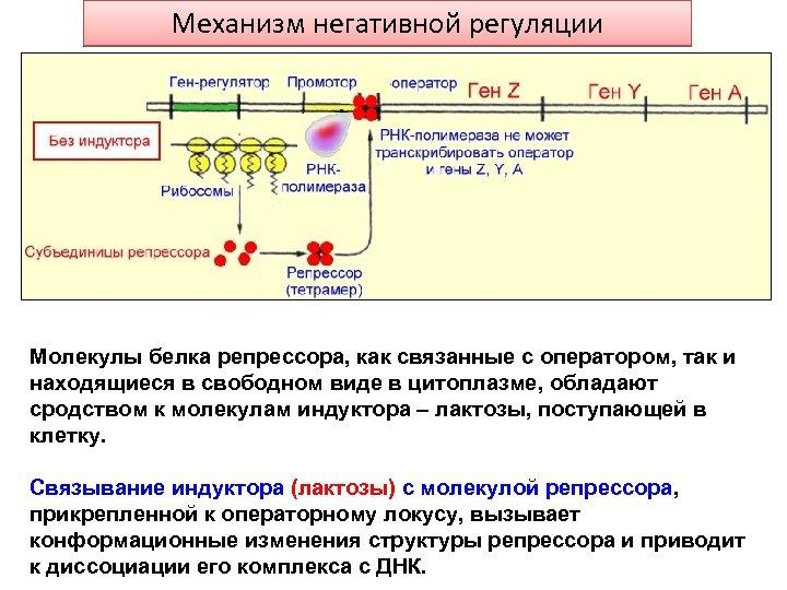 Механизм негативной регуляции Молекулы белка репрессора, как связанные с оператором, так и находящиеся в