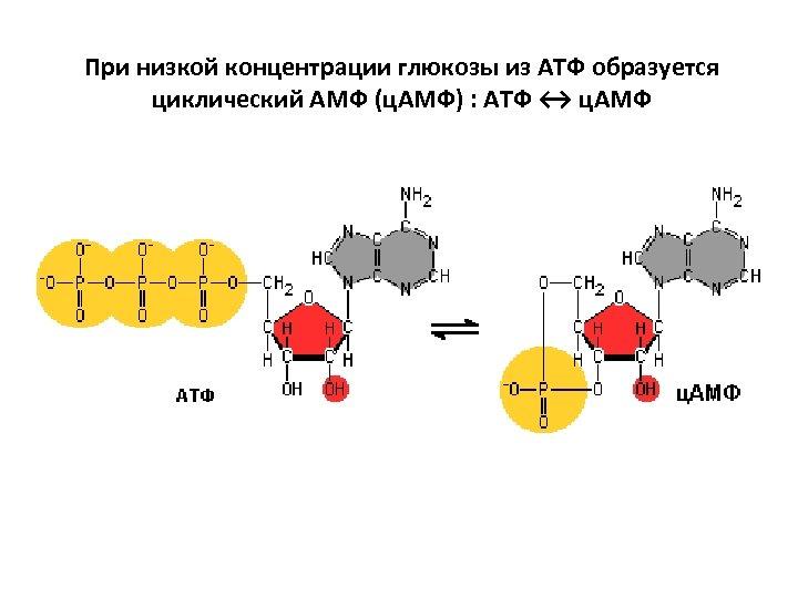 При низкой концентрации глюкозы из АТФ образуется циклический АМФ (ц. АМФ) : АТФ ↔