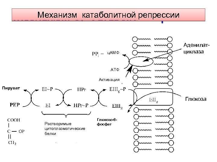 Механизм катаболитной репрессии Mechanism of Catabolite Repression ц. АМФ Аденилатциклаза АТФ Активация Пируват Глюкоза