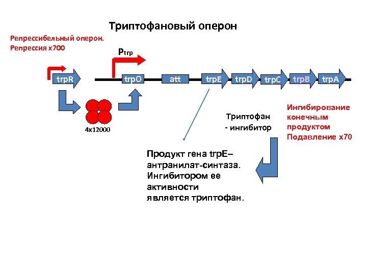 Триптофановый оперон Репрессибельный оперон. Репрессия х700 trp. R Ptrp trp. O 4 х12000 att