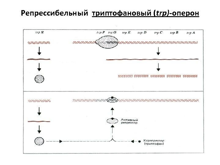 Репрессибельный триптофановый (trp)-оперон