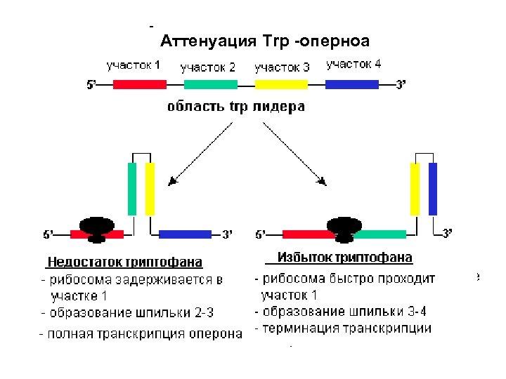 Аттенуация Trp -оперноа