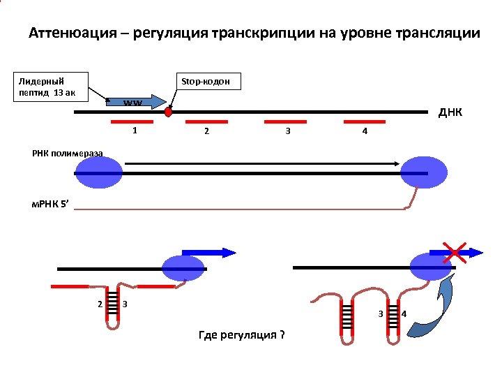 Аттенюация – регуляция транскрипции на уровне трансляции Лидерный пептид 13 ак Stop-кодон ww 1