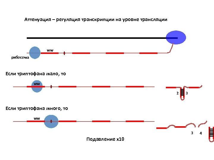 Аттенуация – регуляция транскрипции на уровне трансляции ww рибосома Если триптофана мало, то ww