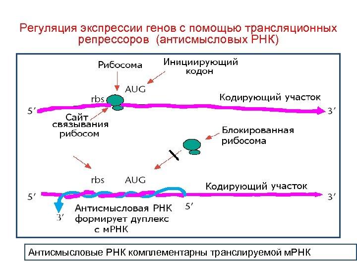 Регуляция экспрессии генов с помощью трансляционных репрессоров (антисмысловых РНК) Антисмысловые РНК комплементарны транслируемой м.