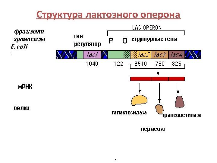 Структура лактозного оперона