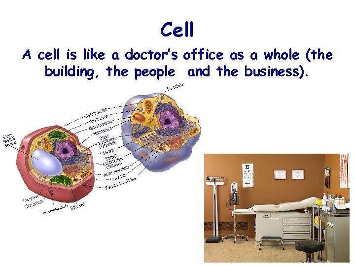 Cell A cell is like a doctor's office as a whole (the building, the