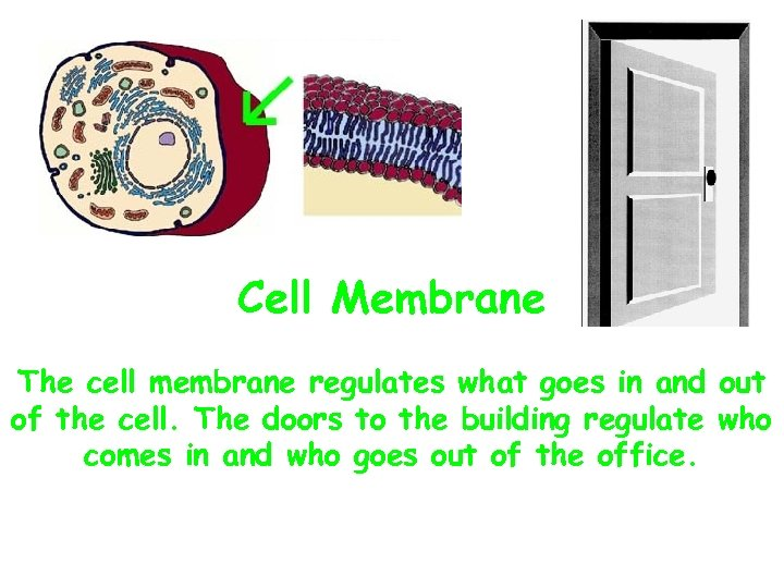 Cell Membrane The cell membrane regulates what goes in and out of the cell.