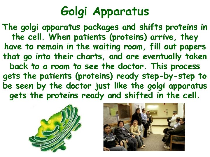 Golgi Apparatus The golgi apparatus packages and shifts proteins in the cell. When patients