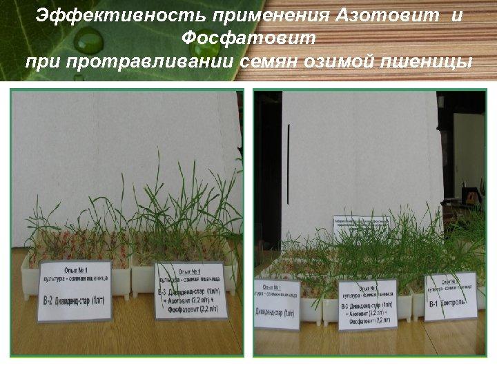 Эффективность применения Азотовит и Фосфатовит при протравливании семян озимой пшеницы