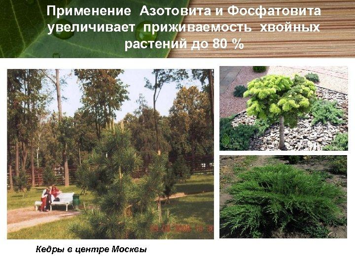 Применение Азотовита и Фосфатовита увеличивает приживаемость хвойных растений до 80 % Кедры в центре