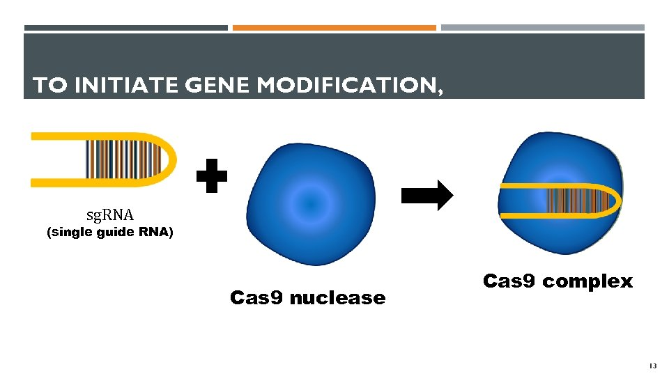 TO INITIATE GENE MODIFICATION, sg. RNA (single guide RNA) Cas 9 nuclease Cas 9
