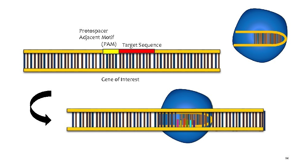 Protospacer Adjacent Motif (PAM) Target Sequence Gene of Interest 14