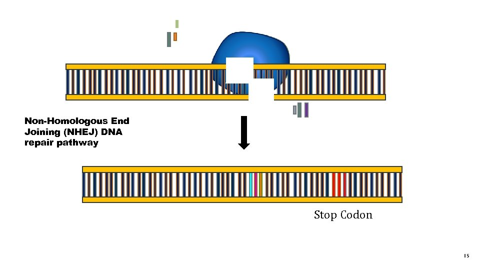 Non-Homologous End Joining (NHEJ) DNA repair pathway Stop Codon 15