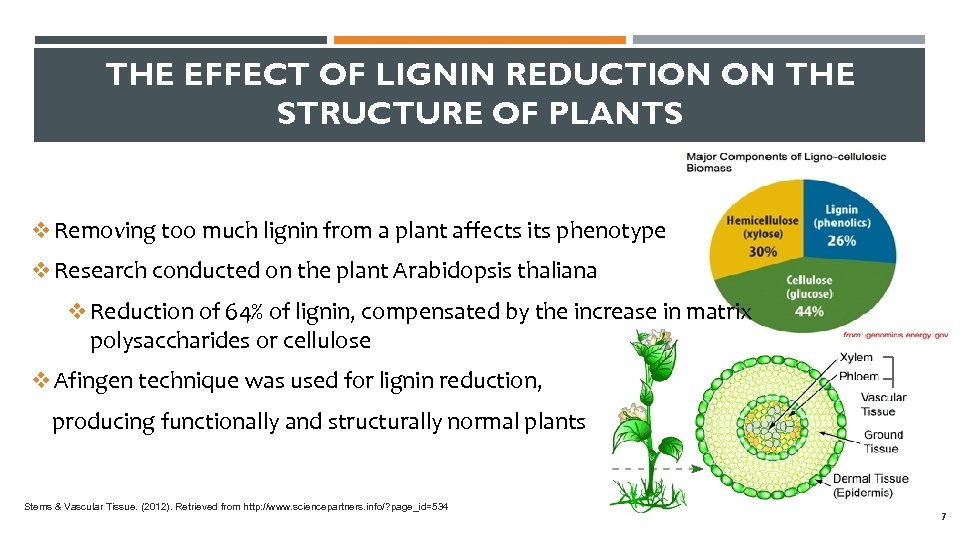 THE EFFECT OF LIGNIN REDUCTION ON THE STRUCTURE OF PLANTS v Removing too much
