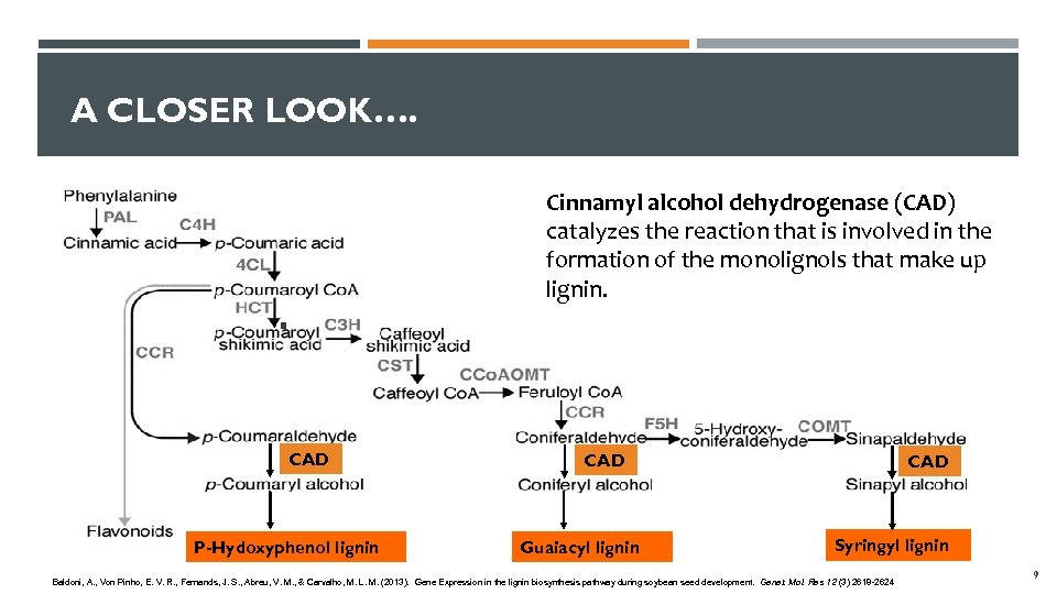 A CLOSER LOOK…. Cinnamyl alcohol dehydrogenase (CAD) catalyzes the reaction that is involved in