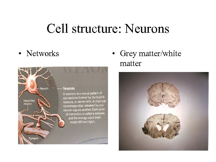 Cell structure: Neurons • Networks • Grey matter/white matter