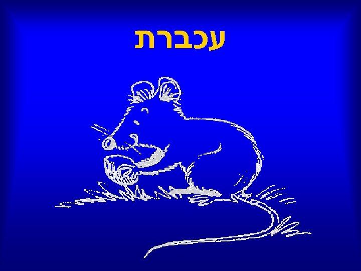 עכברת