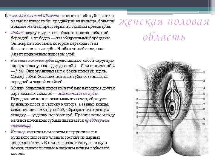 К женской половой области относятся лобок, большие и малые половые губы, преддверие влагалища, большие