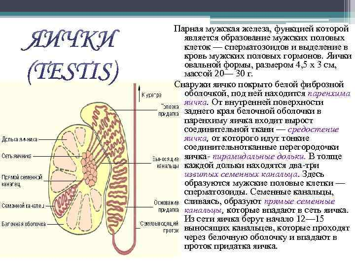 Парная мужская железа, функцией которой является образование мужских половых клеток — сперматозоидов и выделение