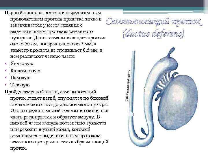Парный орган, является непосредственным продолжением протока придатка яичка и заканчивается у места слияния с
