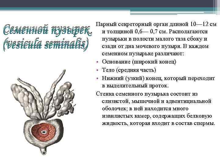 Семенной пузырек (vesicula seminalis) Парный секреторный орган длиной 10— 12 см и толщиной 0,