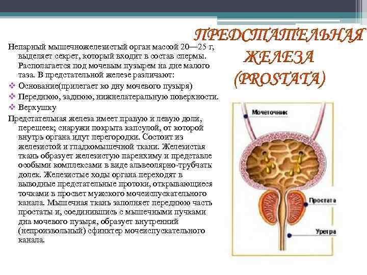 Непарный мышечножелезистый орган массой 20— 25 г, выделяет секрет, который входит в состав спермы.