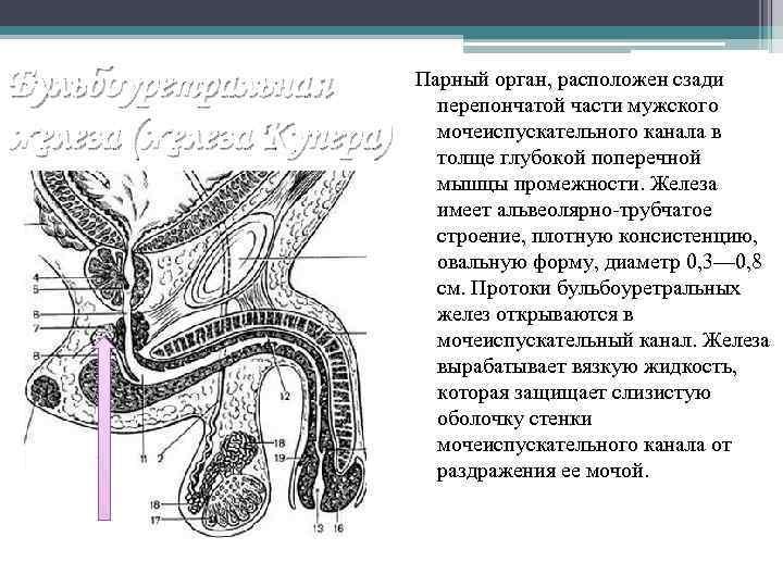 Бульбоуретральная железа (железа Купера) Парный орган, расположен сзади перепончатой части мужского мочеиспускательного канала в
