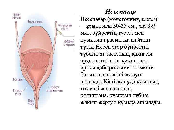 Hecепағар (мочеточник, uretеr) —ұзындығы 30 -35 см. , ені 3 -9 мм. , бүйректің