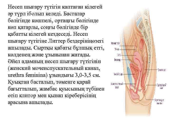 Несеп шығару түтігін каптаған кілегей әр түрл іболып келеді. Басталар бөлігінде көшпелі, ортаңғы бөлігінде
