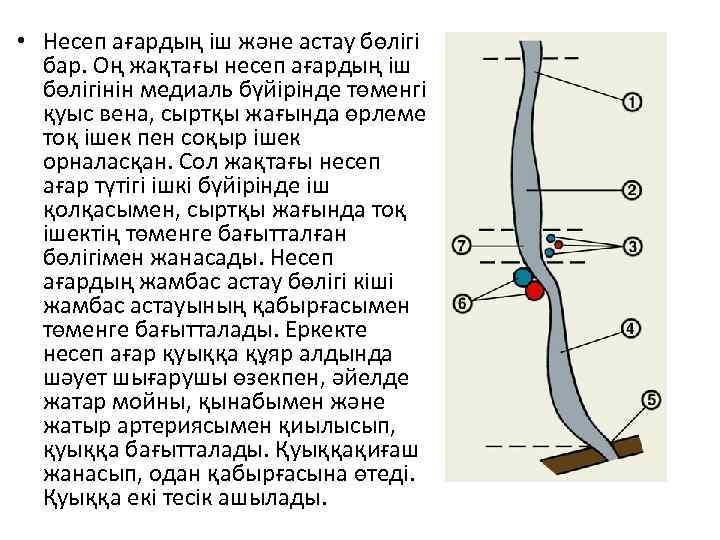 • Несеп ағардың іш және астау бөлігі бар. Оң жақтағы несеп ағардың іш