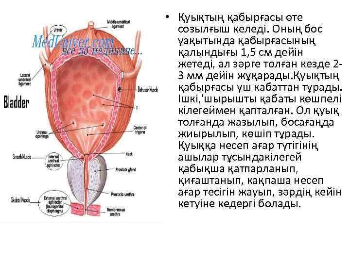 • Қуықтың қабырғасы өте созылғыш келеді. Оның бос уақытында қабырғасының қалындығы 1, 5