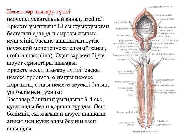 Несеп-зәр шығару түтігі (мочеиспускательный канал, urethra). Еркекте ұзындығы 18 см жуыққуықтан басталып ерлердің сыртқы