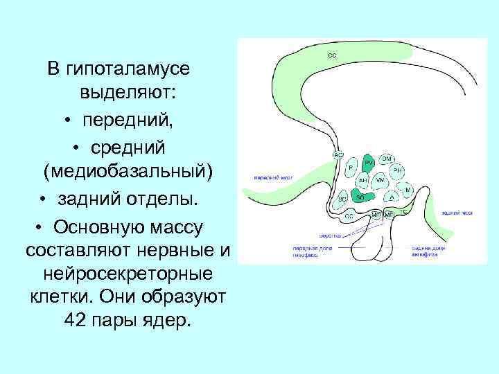 В гипоталамусе выделяют: • передний, • средний (медиобазальный) • задний отделы. • Основную массу