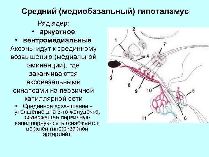 Средний (медиобазальный) гипоталамус Ряд ядер: • аркуатное • вентромедиальные Аксоны идут к срединному возвышению
