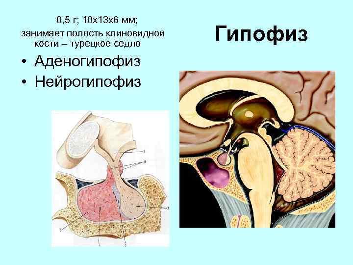 0, 5 г; 10 х13 х6 мм; занимает полость клиновидной кости – турецкое седло