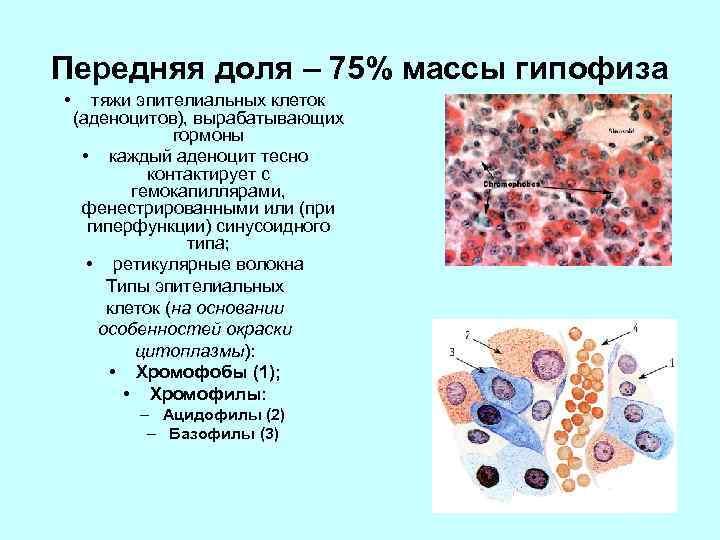 Передняя доля – 75% массы гипофиза • тяжи эпителиальных клеток (аденоцитов), вырабатывающих гормоны •