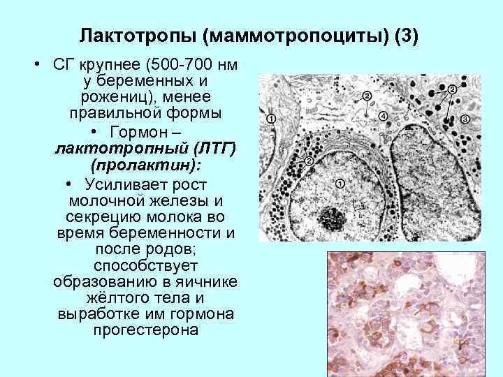 Лактотропы (маммотропоциты) (3) • СГ крупнее (500 -700 нм у беременных и рожениц), менее