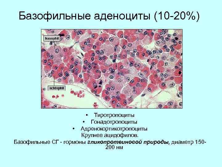 Базофильные аденоциты (10 -20%) • Тиротропоциты • Гонадотропоциты • Адренокортикотропоциты Крупнее ацидофилов. Базофильные СГ