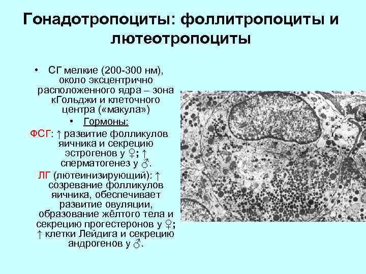 Гонадотропоциты: фоллитропоциты и лютеотропоциты • СГ мелкие (200 -300 нм), около эксцентрично расположенного ядра