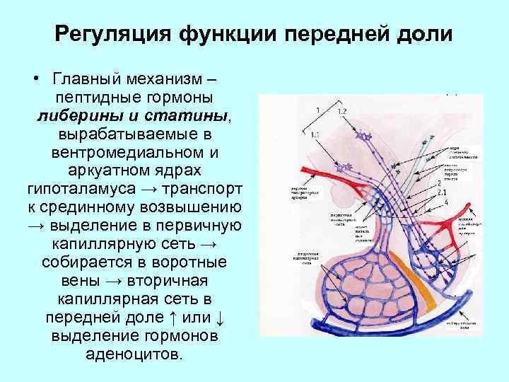 Регуляция функции передней доли • Главный механизм – пептидные гормоны либерины и статины, вырабатываемые