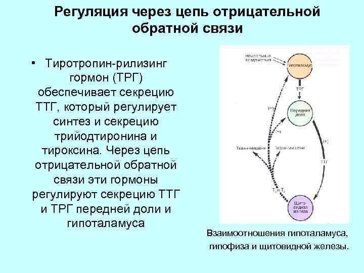 Регуляция через цепь отрицательной обратной связи • Тиротропин-рилизинг гормон (ТРГ) обеспечивает секрецию ТТГ, который