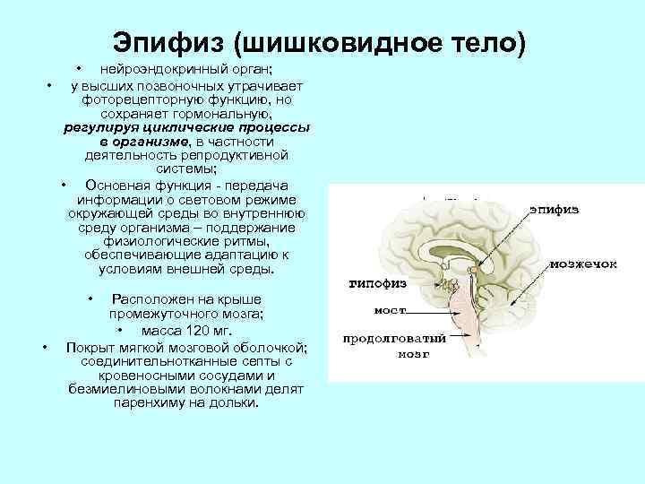 Эпифиз (шишковидное тело) • нейроэндокринный орган; • у высших позвоночных утрачивает фоторецепторную функцию, но