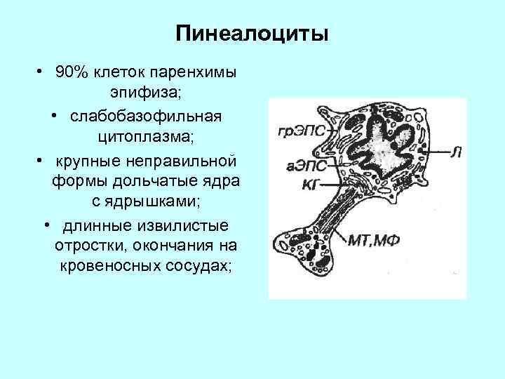 Пинеалоциты • 90% клеток паренхимы эпифиза; • слабобазофильная цитоплазма; • крупные неправильной формы дольчатые