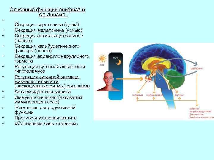 Основные функции эпифиза в организме : • • • Секреция серотонина (днём) Секреция мелатонина