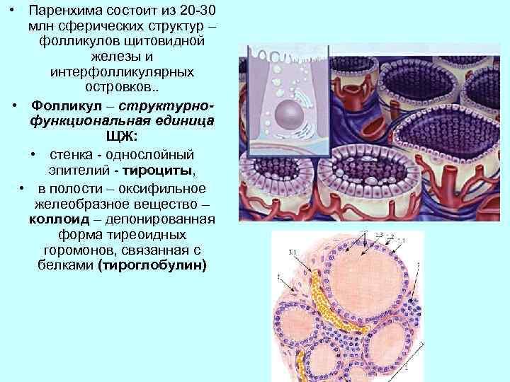 • Паренхима состоит из 20 -30 млн сферических структур – фолликулов щитовидной железы